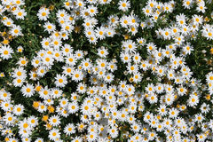 Daisy flower texture background. Top view. White daisy flower texture background. Top view Stock Photo