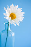 Daisy Flower in vase Stock Images