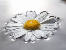 Daisy flower on water Royalty Free Stock Image