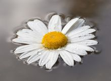 Daisy flower on water Stock Photography