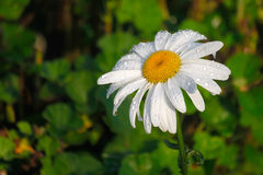 Daisy flower with water droplets Stock Image
