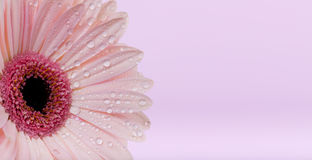 Daisy flower with water drops stock image