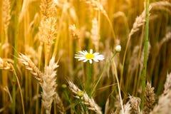 Daisy flower in a wheet field Stock Image