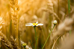 Daisy flower in a wheet field Royalty Free Stock Photography
