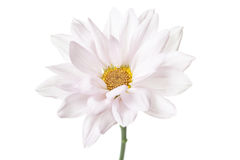 Daisy Flower White Daisies Floral Flowers Royalty Free Stock Image