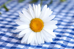 Daisy flower with white petals on checkered tablec Royalty Free Stock Photography