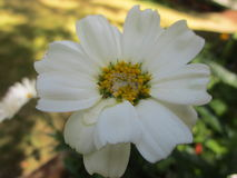 Daisy flower with white petals Stock Photo