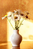 Daisy flower in white vase with shallow focus Royalty Free Stock Image