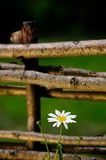 Daisy Flower by Wicker Fence stock photography