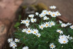 Daisy flower in Winter royalty free stock photo