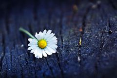 Daisy Flower Wood Background Royalty Free Stock Photos