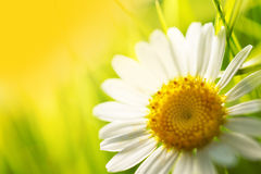 Daisy flower on yellow background Royalty Free Stock Image