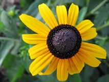 Daisy flower. A yellow and black daisy flower Royalty Free Stock Photography
