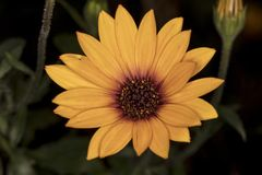 Daisy flower, yellow and dark Royalty Free Stock Photography