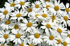 Daisy flowerbed Royalty Free Stock Photo