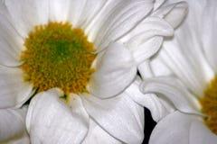 Daisy Flowerheads in macro Royalty Free Stock Photo