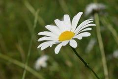 Daisy Flowering branca e amarela perfeita em um campo fotografia de stock