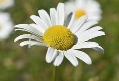 Daisy Flowering comum de florescência bonita e perfeita fotografia de stock royalty free