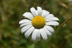 Daisy Flowering comum perfeita em um dia bonito foto de stock royalty free