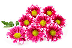 Daisy flowers. Beautiful daisy flowers bouquet isolated over white background stock image