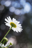 Daisy flowers. Against the alpine rocks stock image