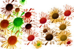 Daisy Flowers. White background with scattered daisy flowers in many different colors Stock Images