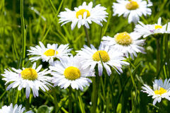 Daisy Flowers Royalty Free Stock Photo