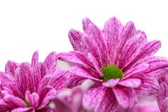 Beautiful Daisy flowers and white background royalty free stock photo