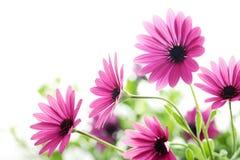 Daisy flowers. Closeup of daisy flowers,Shallow Dof stock image