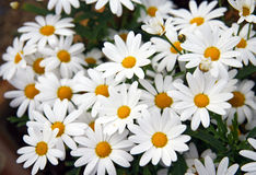 Daisy flowers. Meadow with beautiful daisy flowers Stock Image