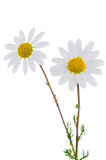 Daisy flowers. Profile view of  beautiful daisy flowers isolated on white background Royalty Free Stock Photo