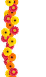 Daisy flowers. Colorful daisy flowers border for your designs and messages Royalty Free Stock Photo