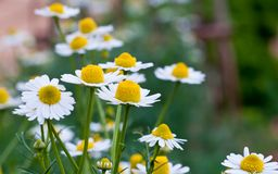 Daisy flowers. Royalty Free Stock Images