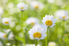 Daisy Flowers. Close-up of a daisy in a field of flowers with very shallow depth of field Royalty Free Stock Image