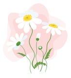 Daisy Flowers Stockfoto