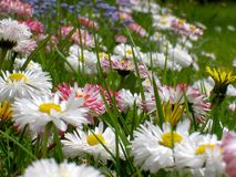 Daisy flowers Stock Image