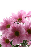 Daisy flowers. Pink daisy flowers isolated on white - close-ups royalty free stock photo