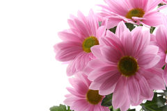 Daisy flowers Stock Images