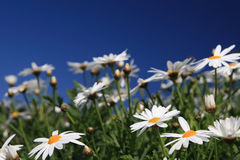 Daisy flowers. On the blue sky royalty free stock photo