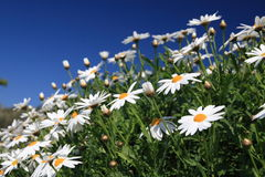 Daisy flowers. On the blue sky stock photo