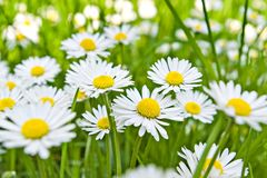 Daisy flowers. On field with shallow depth of field royalty free stock photos