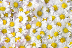 Daisy flowers Stock Photography