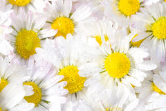 Daisy flowers. Macro daisy flowers with water droplets Stock Photo