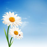 Daisy flowers. Royalty Free Stock Image