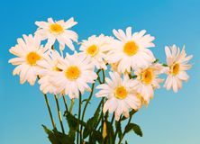 Daisy Flowers Against Blue Sky fotografie stock