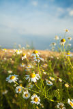 Daisy Flowers Against Blue Sky. Daisy flowers on field with white clouds and blue sky in background Royalty Free Stock Image