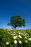 Daisy Flowers And Tree Stock Photo