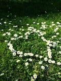 Daisy flowers Royalty Free Stock Photos
