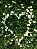 Daisy flowers. Arranged in a heart shape Stock Image