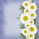 Daisy flowers arrangement Royalty Free Stock Photos
